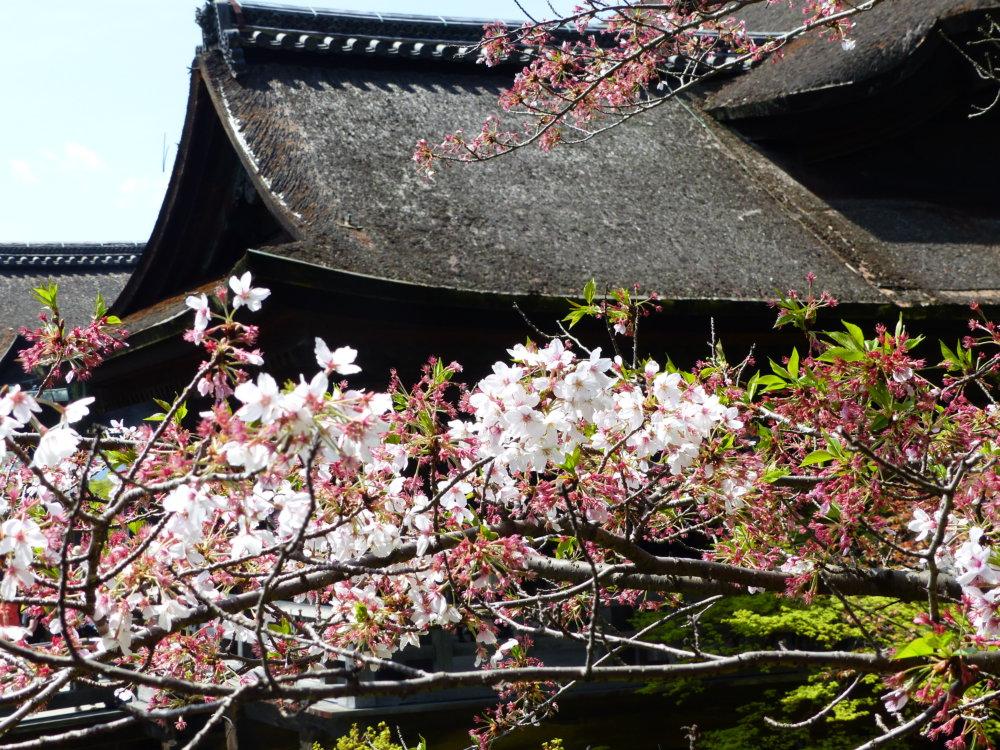 Kyoto Hanami Kiyomizudera
